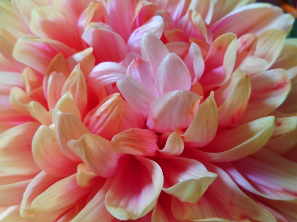 chrysanthemum yellow red